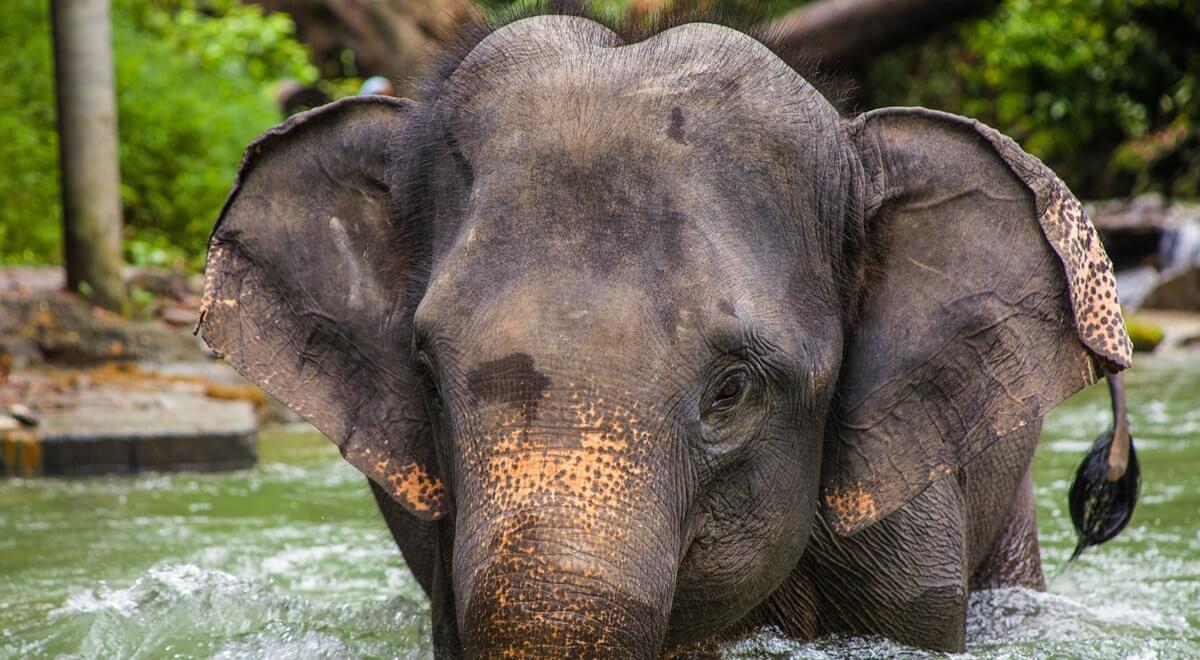 Les éléphants et la Thaïlande