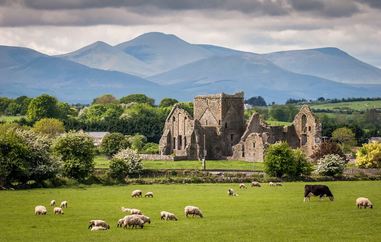 Paysage irlandais : prairie verte avec des moutons et des vaches, et des ruines en fond.